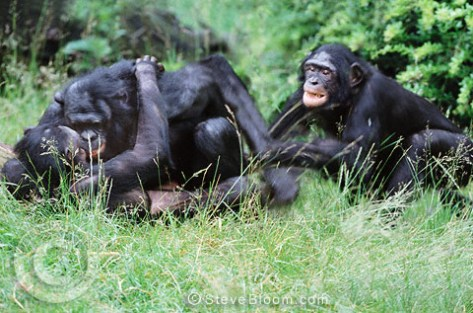 Mating pair of bonobos being disturbed by a jealous male. Bonobo (Pan paniscua)