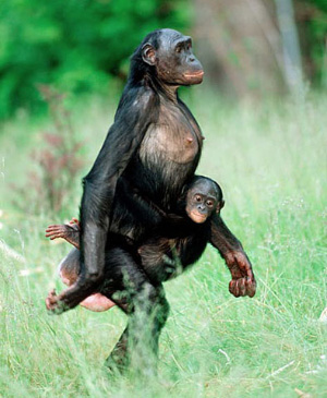 bonobos vs pan paniscus Bonobos (pan paniscus) was recognized in 1929 as a separate species from   formerly known as pygmi chimpanzee or dwarf chimpanzee.