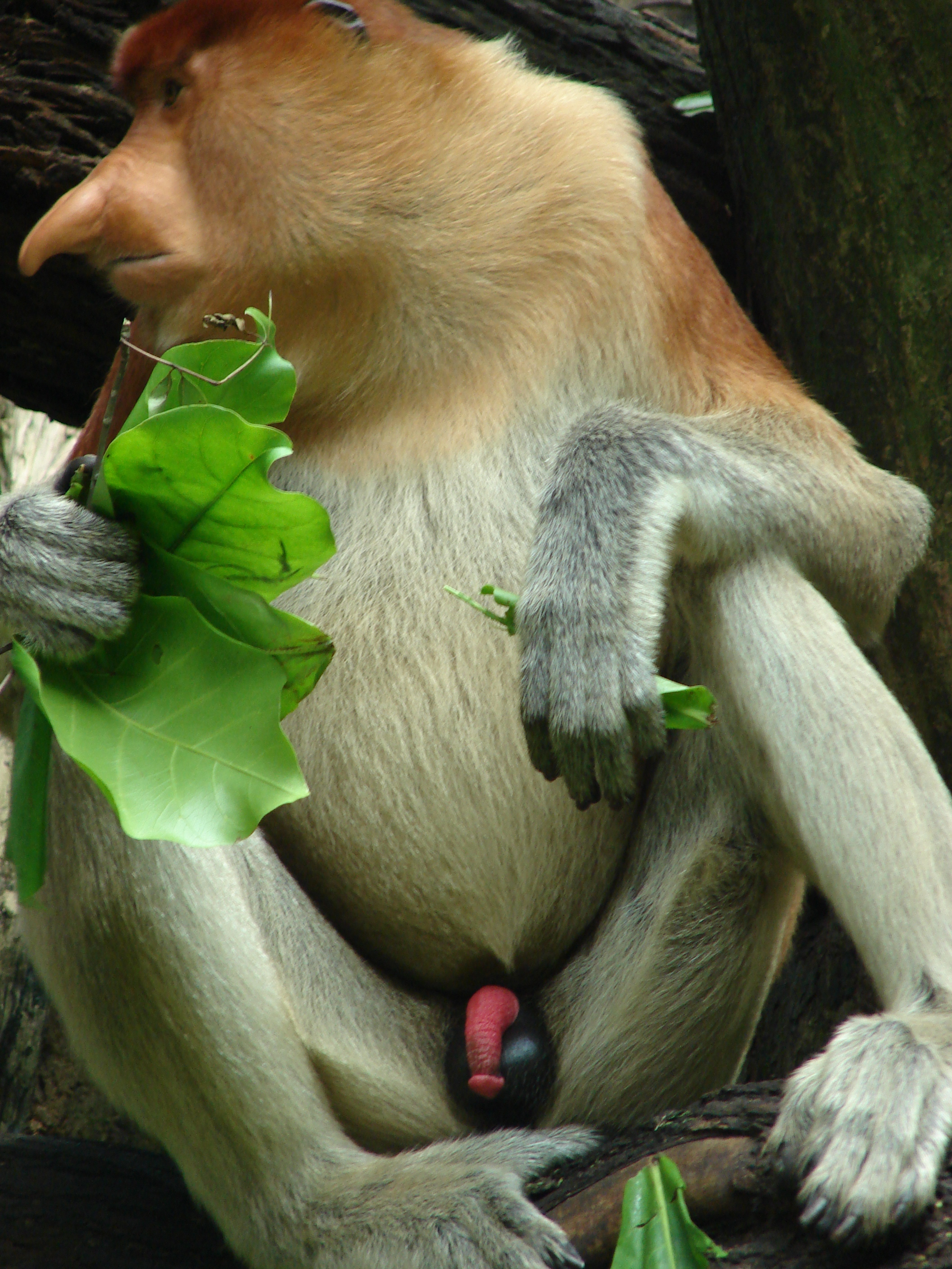 Odd Animal Profile Proboscis Monkey  Endangered Living-9215