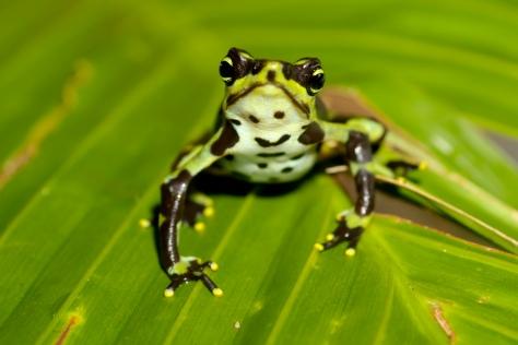 Limosa-harlequin-frog-Atelopus-limosus-highland-Brian-Gratwicke1
