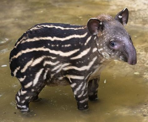 Baby tapir at the Bristol Zoo