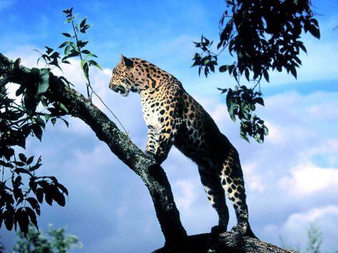 Amur Leopard Scout Wallpaper