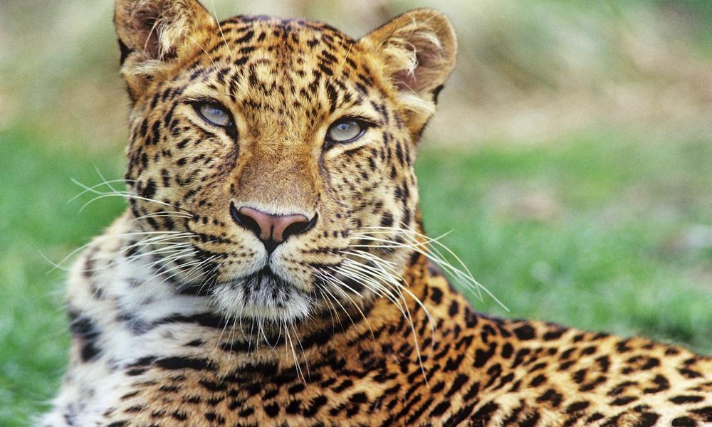 any hope for the amur leopard? | endangered living