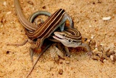 bizarre-whiptail-lizard-mating_1