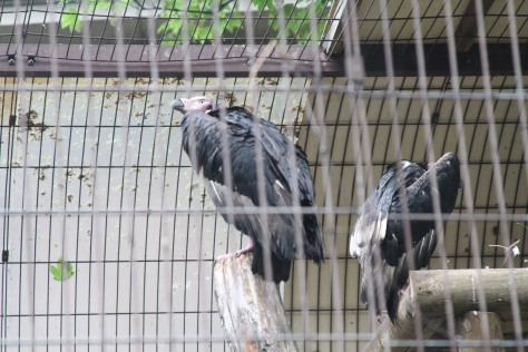 Pondicherry Vultures