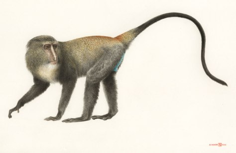 Drawing by Kimio Honda-- I actually couldn't find any photos of its bright blue bottom, as every picture of it was after the monkey had been killed and its bottom had faded to white