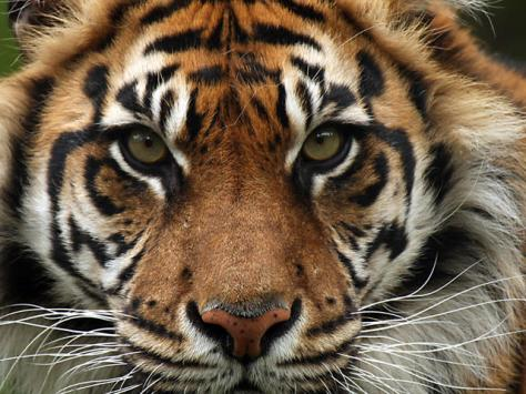 Photo from WWF- Less than 400 Sumatran tigers remain in the wild