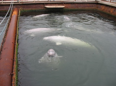 Meet the belugas that the Georgia Aquarium wants to import. Photo from WDC