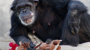 Former NIH chimp at Chimp Haven, photo from CBS News