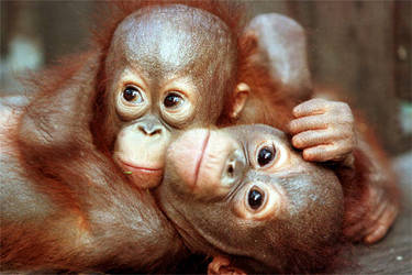 Photo from Orangutan Photos