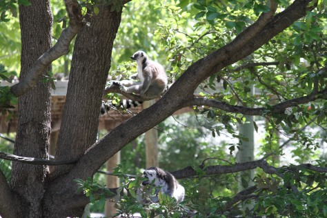 Photo by me of a lemur at the Dallas Zoo I took for my monograph
