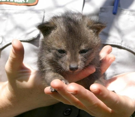 Photo of dwarf fox from Treehugger.com