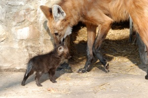 Adult-maned-wolf-with-a-pup-wolves-22383307-780-522