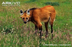Female-maned-wolf-