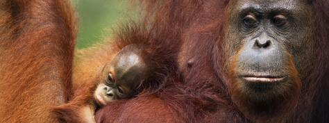 Photo by WWF-Population: about 41,000 (Bornean), about 7,500 (Sumatran)