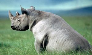 Photo from WWF of a Black Rhino