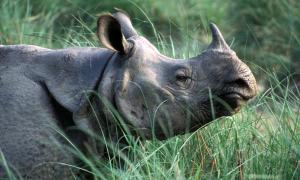 Photo from WWF of a Greater One-Horned Rhino