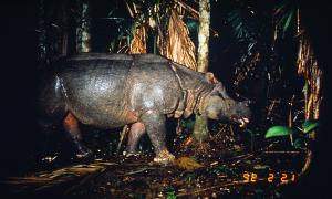 Photo from WWF of a Javan Rhino