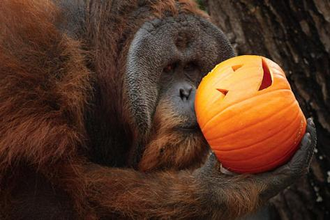 orangutan-and-pumpkin