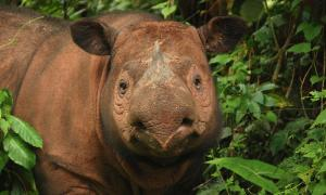 Photo from WWF of a Sumatran Rhino