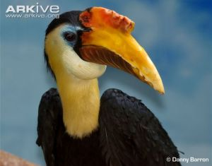 Another male hornbill