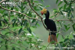 A female Sunda wrinkled hornbill