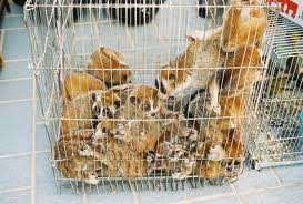Slow Loris being sold into the pet trade