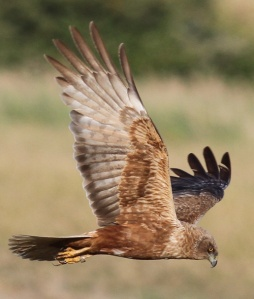 A cross-dressing male marsh harrier. Photo courtesy of NewScientist