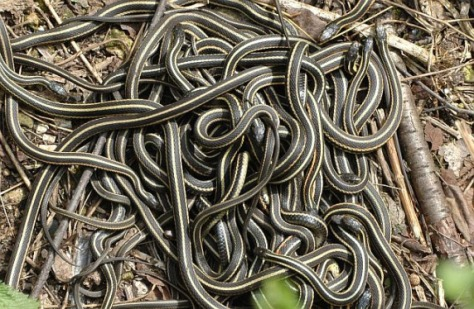 Mating garter snakes. Photo courtesy of NileGuide