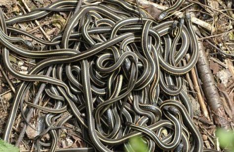 Mating garter snakes. Photo courtesy of NileGuide
