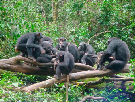 Chimpanzees in Sierra Leon. Photo courtesy of the Arcus Foundation.