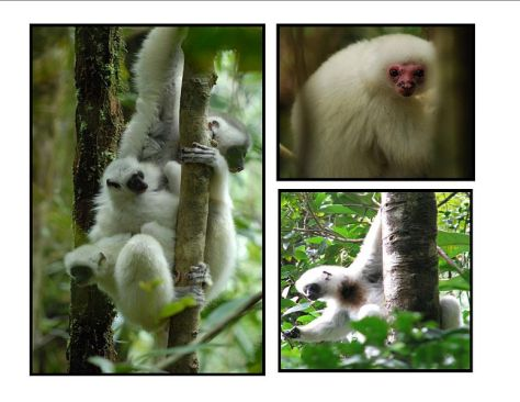 """Silky Sifaka, photo from Creative Commons by """"Simpsonafotsy"""""""
