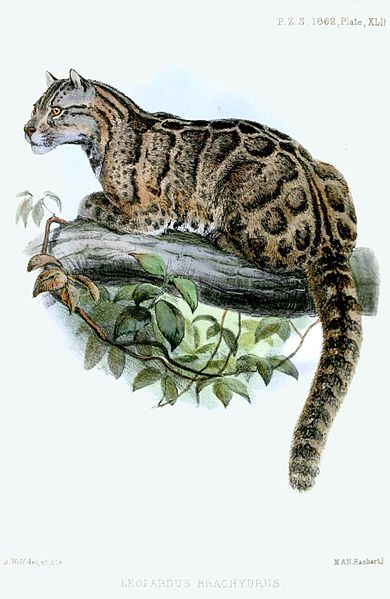 A sketch of a Formosan clouded leopard