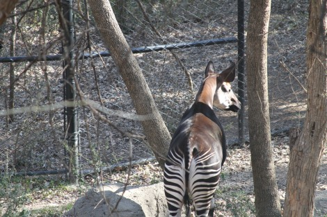 Okapi at the DZ, photo by me