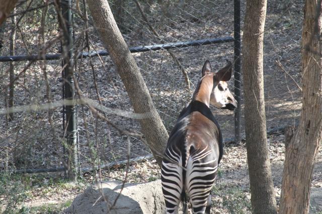 Okapi at the DZ, photo by me
