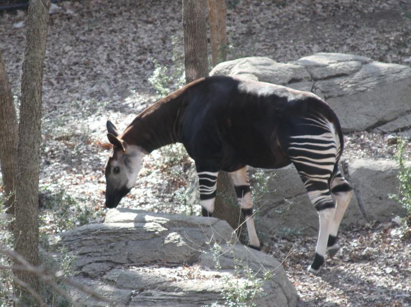 Okapi Breeding In Dallas Endangered Living