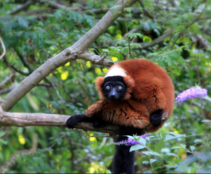 Red Ruffed Lemur. Photo taken by Shannon Kringen on Flickr. Photo on creative commons.