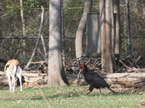 A Southern Ground Hornbill walks the savanna habitat at the Dallas Zoo