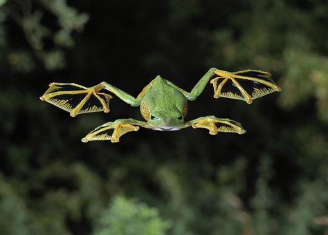 Wallace's Flying Frog in Flight