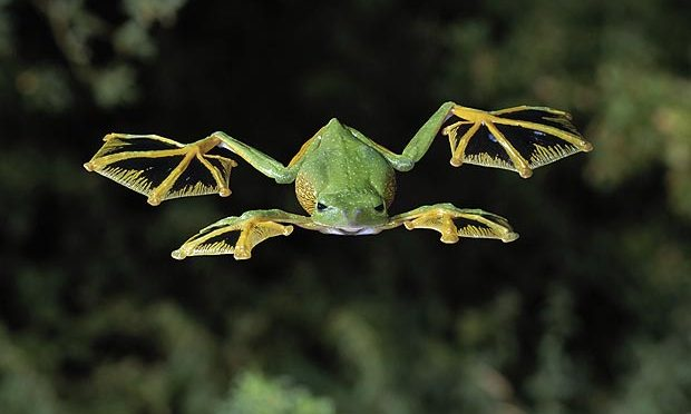 OAP: Flying Frog