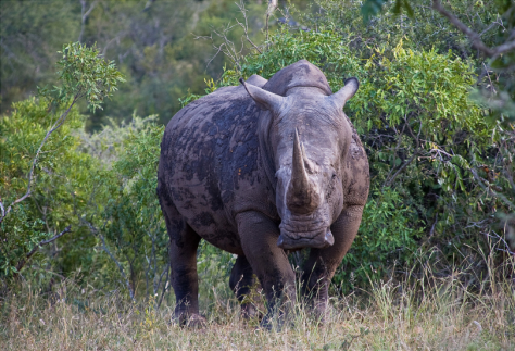 Rhino at the Great Limpopo Transfrontier Park by Andre Van Rooyen