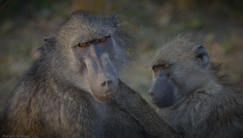 Baboons in the Great Limpopo Transfrontier Park by Charles Peterson