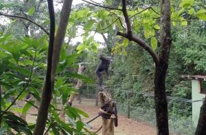 A very excited chimp who had a lot of fun pelting us with rocks in-between his vocal displays