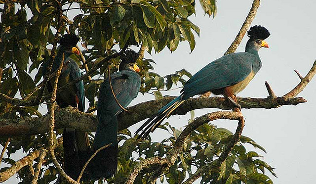 OAP: Great Blue Turaco