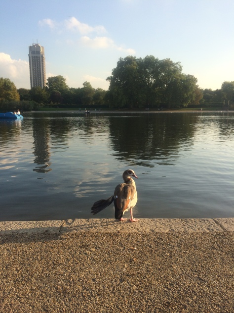 Waterfowl at Hyde Park, London with Angel Wing Photo by Sarah Bell