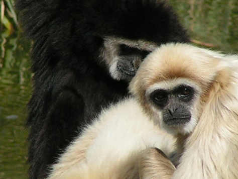 White-handed Gibbon by Drew Mackie