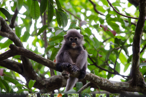 Dusky Leaf Monkey by Simpsora on Flickr
