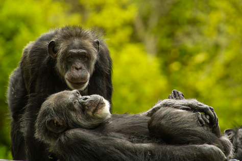 Chimpanzees by Geoffrey Oddie