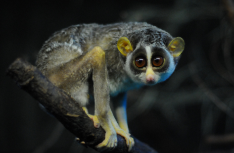 Slow Loris by Joachim S. Müller