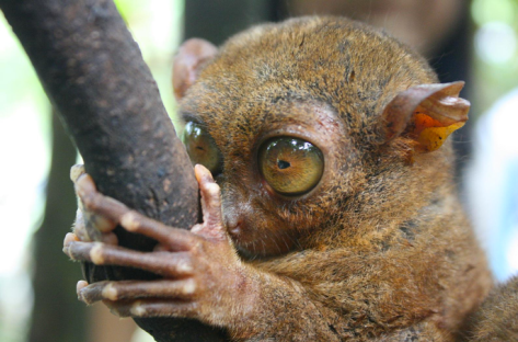 Tarsier by Jaya on Flickr